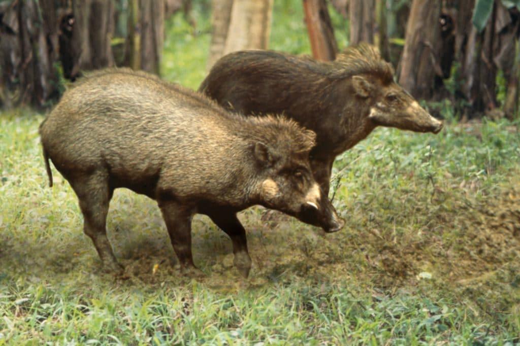 Visayan warty pigs © E. Curio