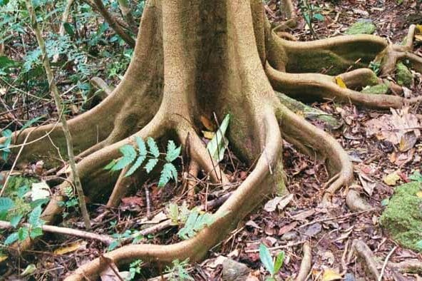 The roots of tree fix the soil © I. Frank