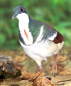 Negros bleeding-heart pigeon Gallicolumba keayi