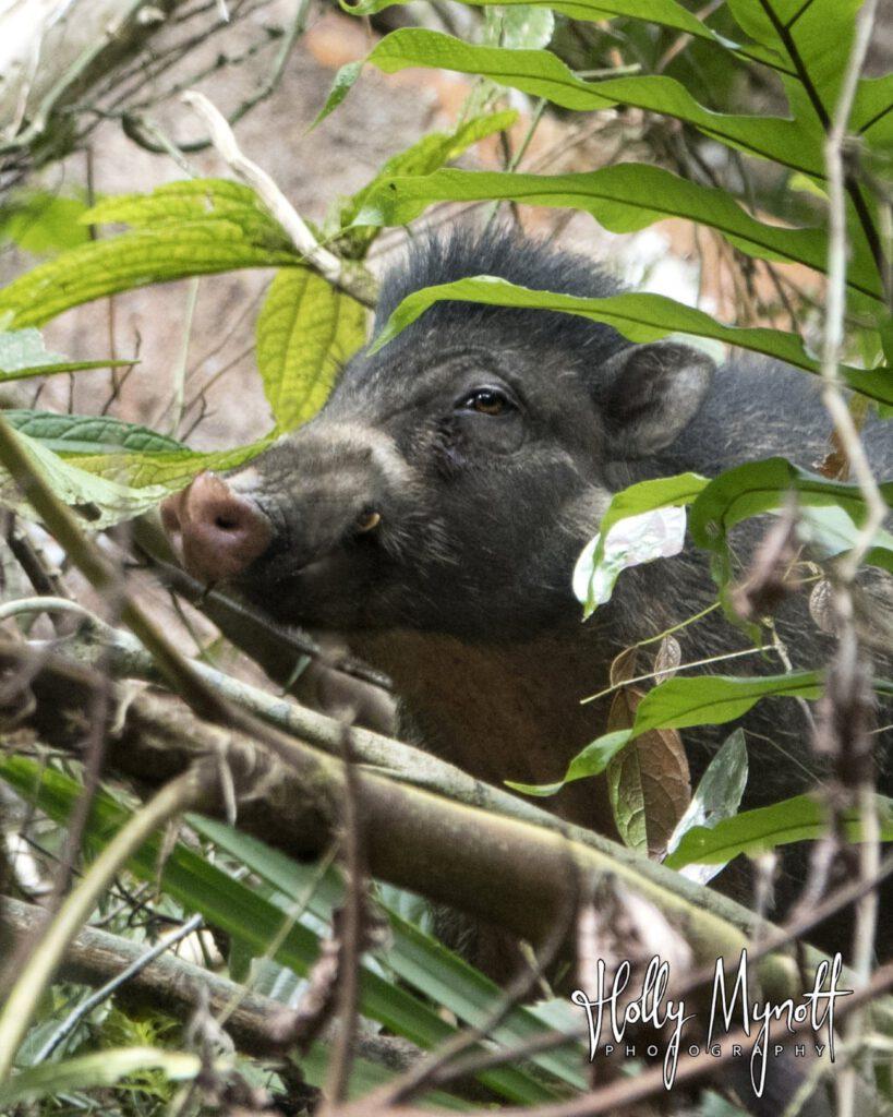 DSC08509 Visayan Warty Pig-min-min-min