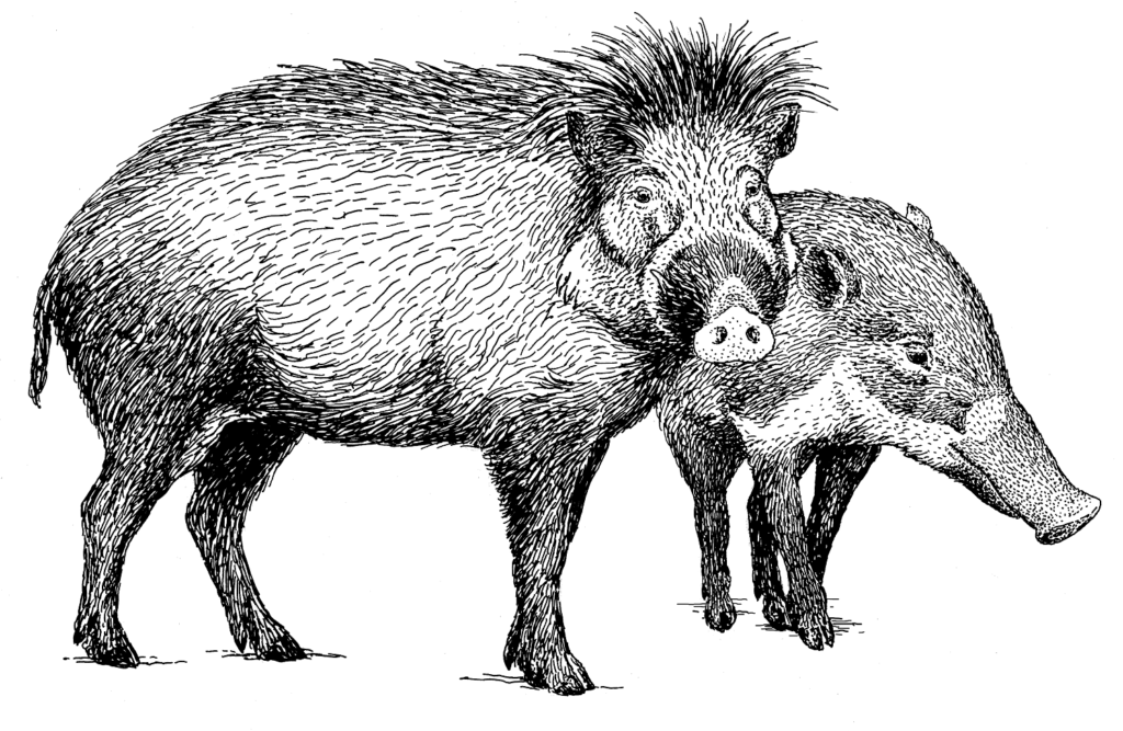 male and fmale visayan warty pig