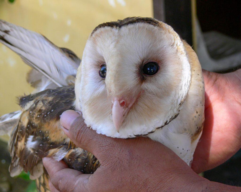 owl_philincon_small