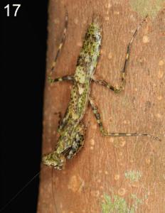 New species of mantis: Compsogusa rheae