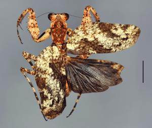 New species of mantis: Theopompa schulzeorum