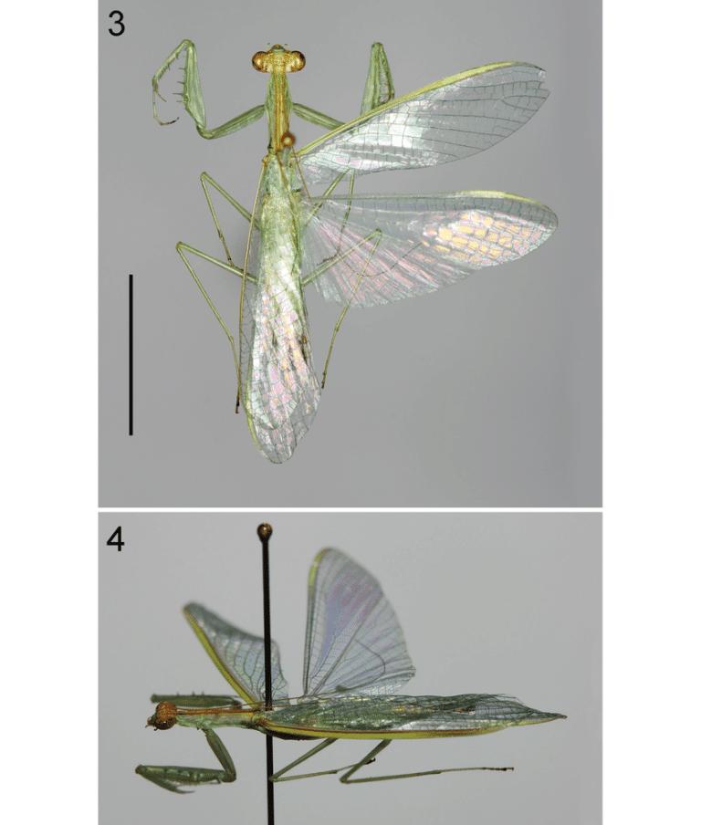 New species of mantis:Pliacanthopus Malayamantis visayanus