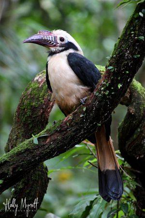 HIM_3320 Visayan tarictic hornbill( (male)-min