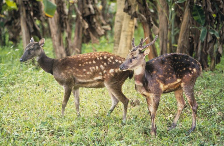 Philippine deer (Curio) bearbeitet-min-min