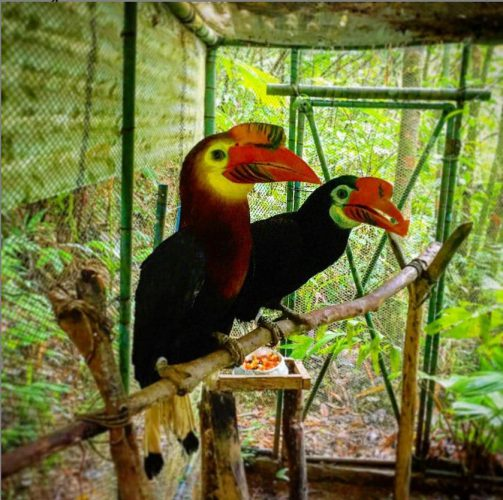 Walden´s Hornbill or Visayan writhed-billed hornbill or rufous-headed hornbill, male  Local names: Dulungan, Kalaw or Talarak. Read more: Hornbill page